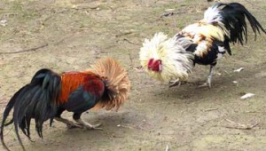 rooster_fight